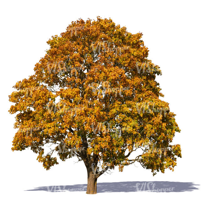 cut out big maple tree with orange leaves