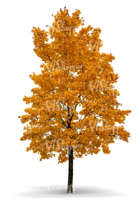 big maple tree in autumn with orange leaves