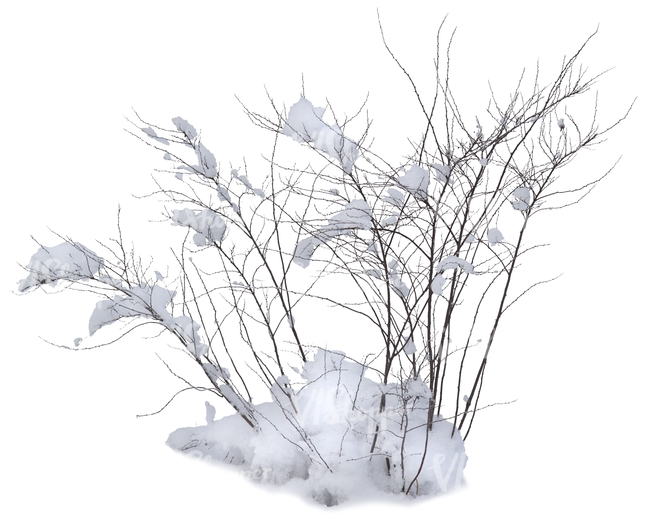 leafless bush covered with snow