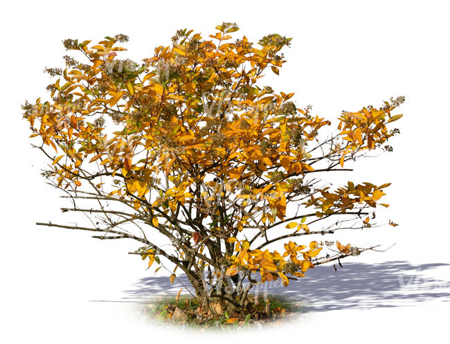 bush in autumn with yellow leaves