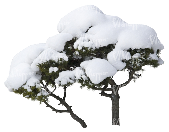 small pine tree covered with snow