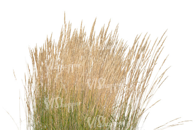 tuft of thick grass