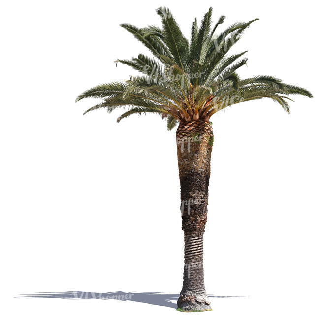 classical palm tree