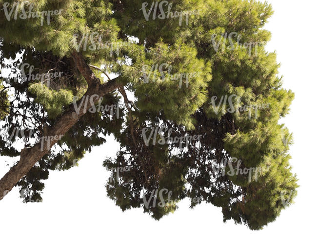 cut out branch of a pine tree with cones
