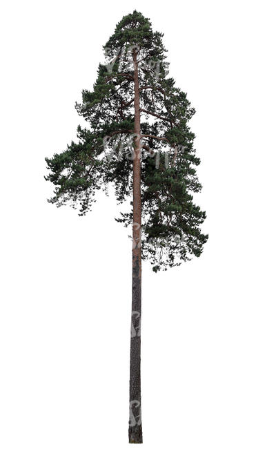 tall pine in ambient light