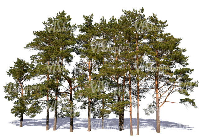 group of pines