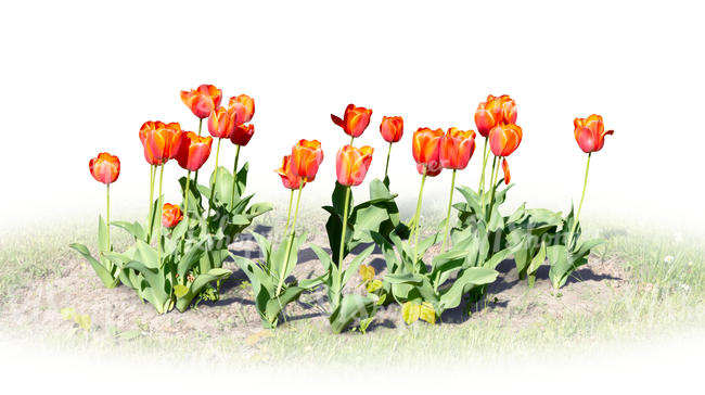 red tulips blooming