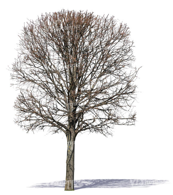 big tree with bare branches