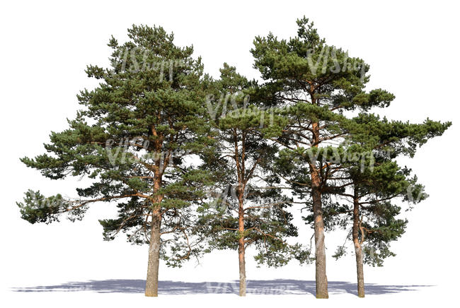 group of pines in sunlight
