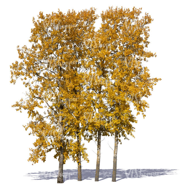 group of linden trees in autumn