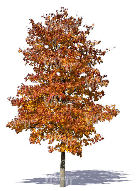 maple tree with red autumn leaves