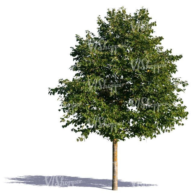 medium size linden tree