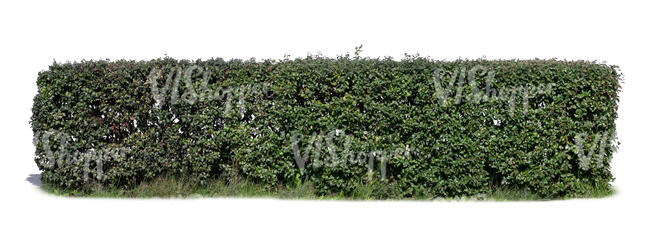 hedge in sunlight
