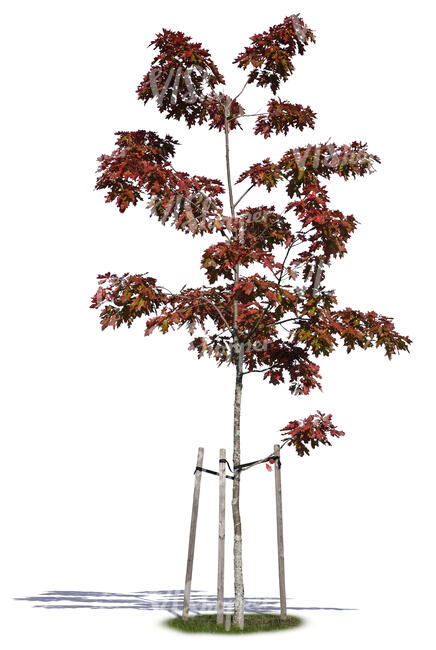 small oak tree with red leaves