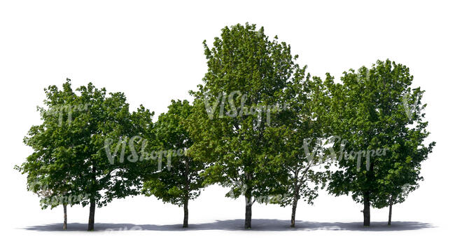 group of many maple trees
