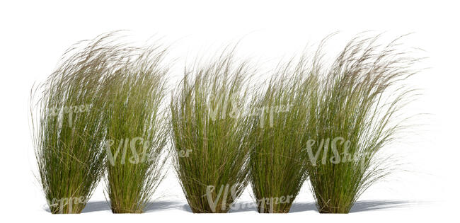 cut out row of decorative grass tufts in sunlight