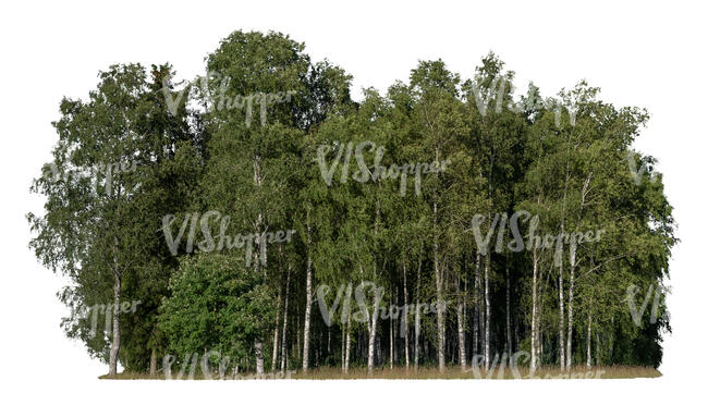 cut out grove of birches