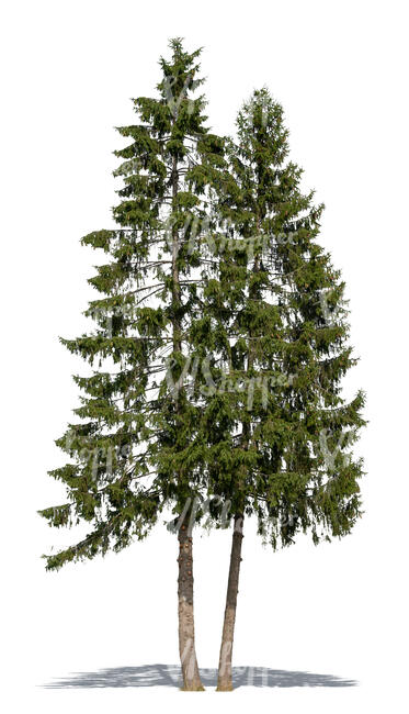 cut out two tall spruces
