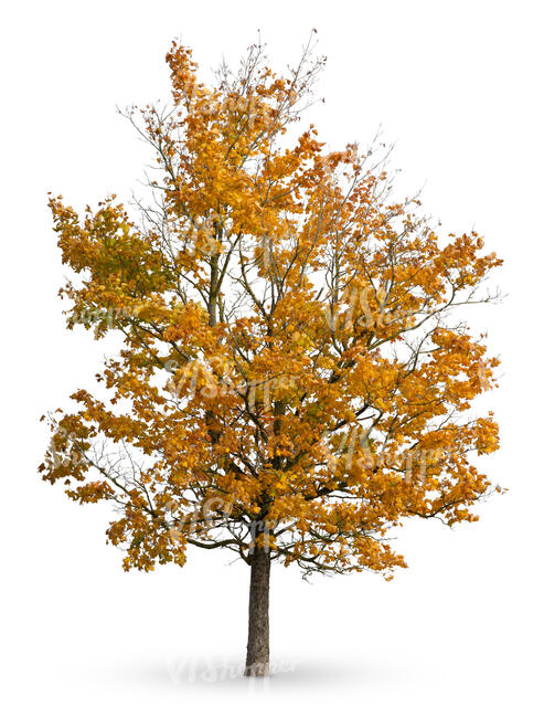 cut out maple tree in autumn with some yellow leaves