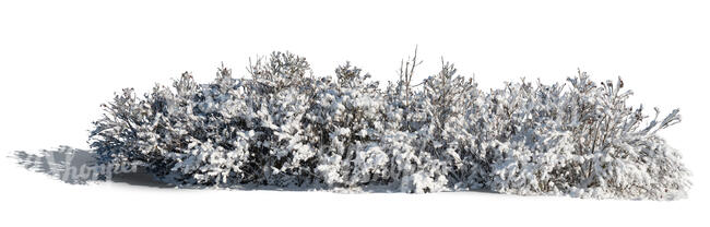cut out bush covered in snow in sunlight