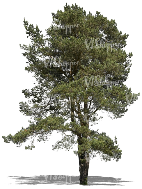 cut out big pine tree