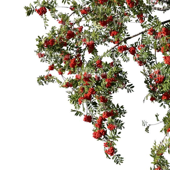 rowan branch with berries
