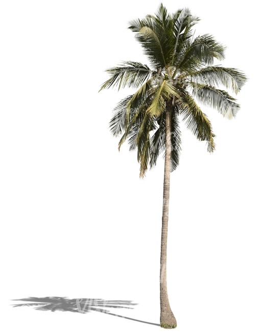 cut out tall palm tree cut out trees and plants vishopper