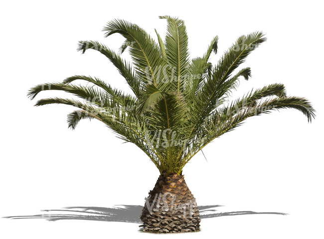 cut out medium size palm tree