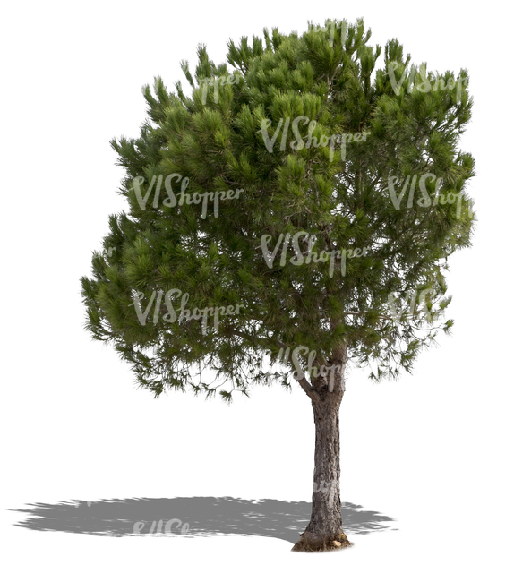 cut out medium size pine tree
