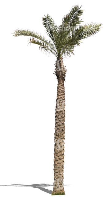 cut out tall palm tree with small leaves
