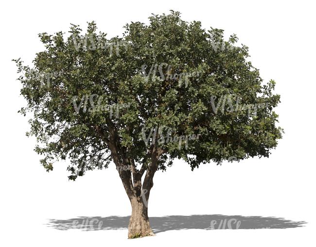 Cut Out Medium Size Mediterranean Tree