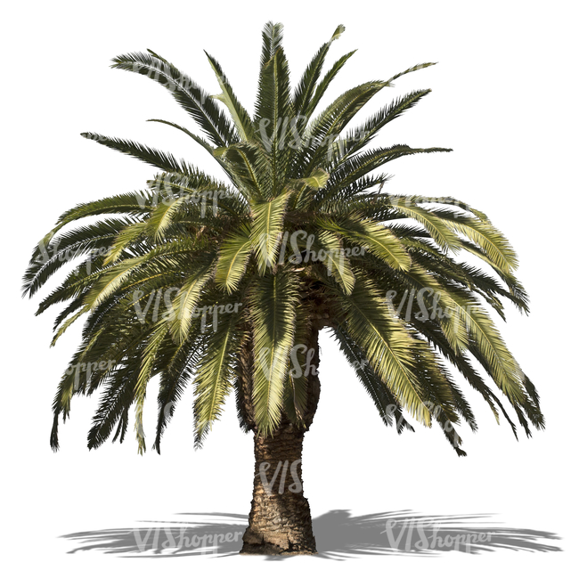 cut out low-growing palm tree