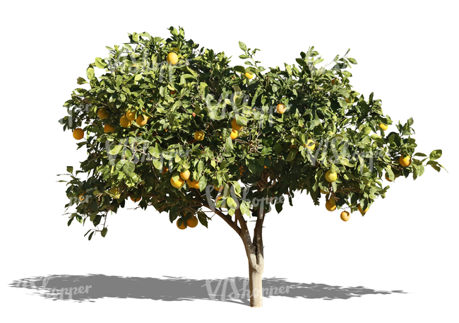 cut out orange tree with fruits