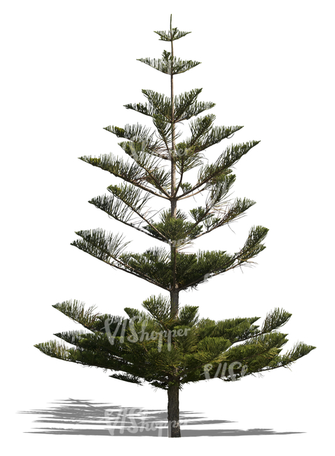 cut out Norfolk island pine tree