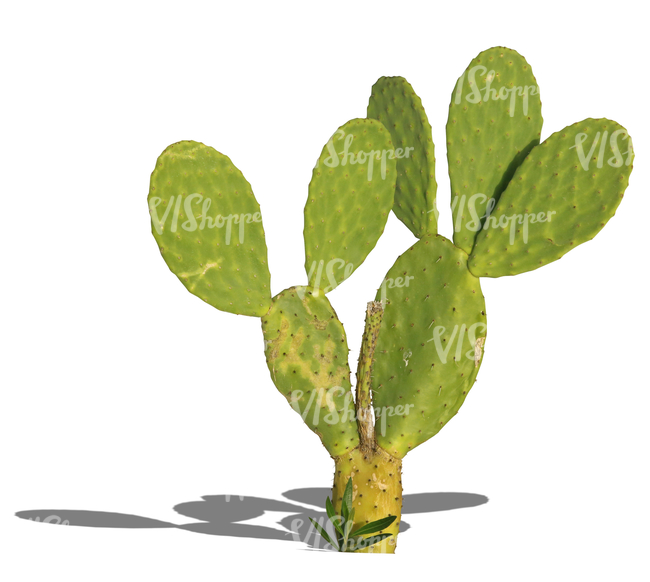cut out small cactus in sunlight