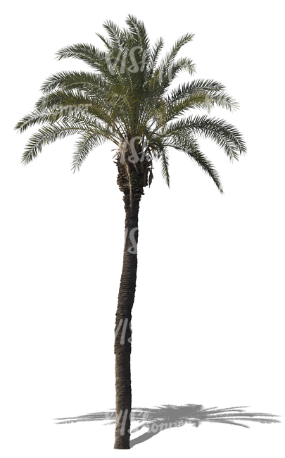 cut out tall palm tree