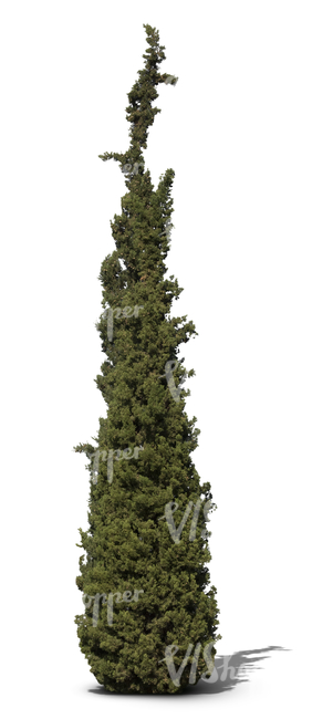 cut out cypress