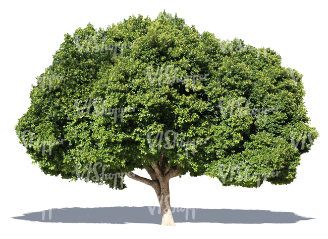 cut out big laurel tree
