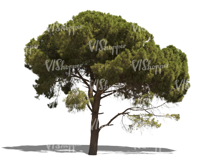 cut out mediterranean pine tree