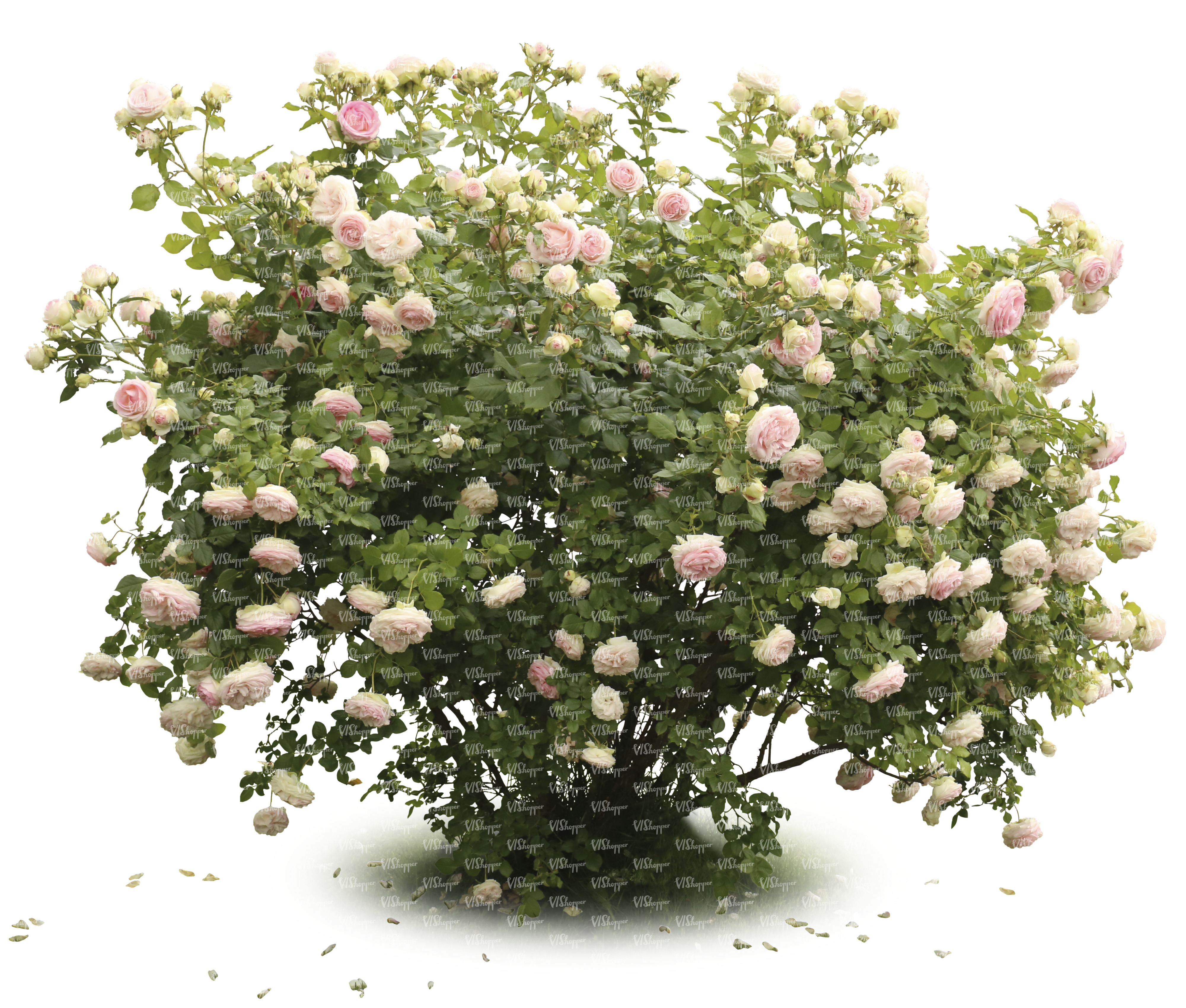 Blooming rose bush with pink blossoms cut out trees and for Plants and shrubs