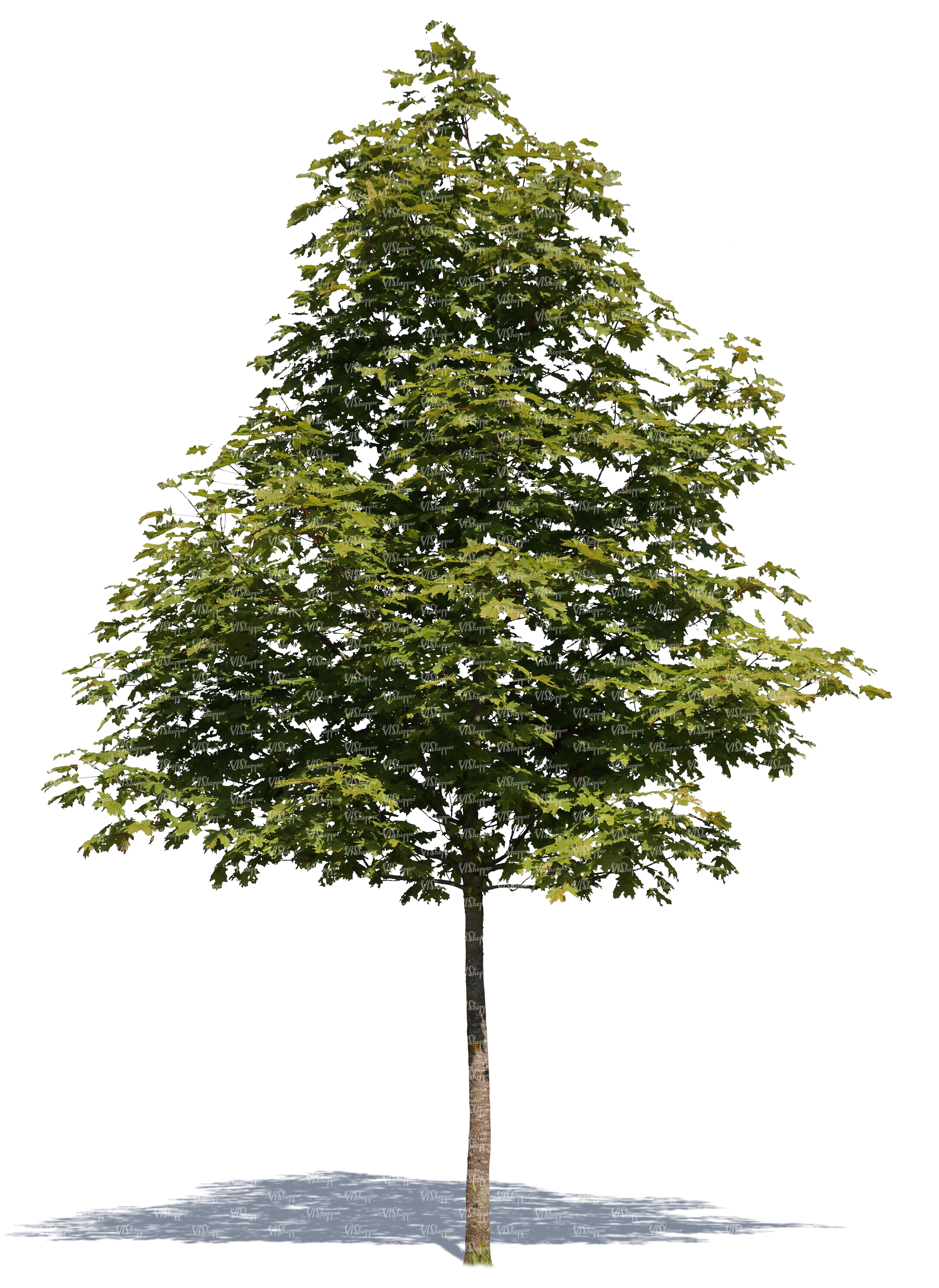 Cut out small maple tree cut out trees and plants for Small slender trees