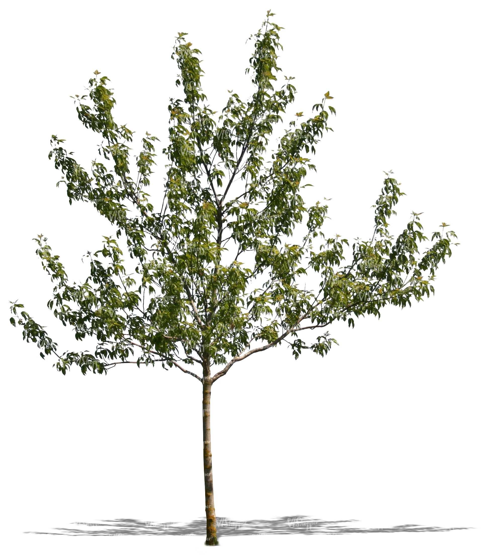 Cut out small tree in spring cut out trees and plants for Short trees