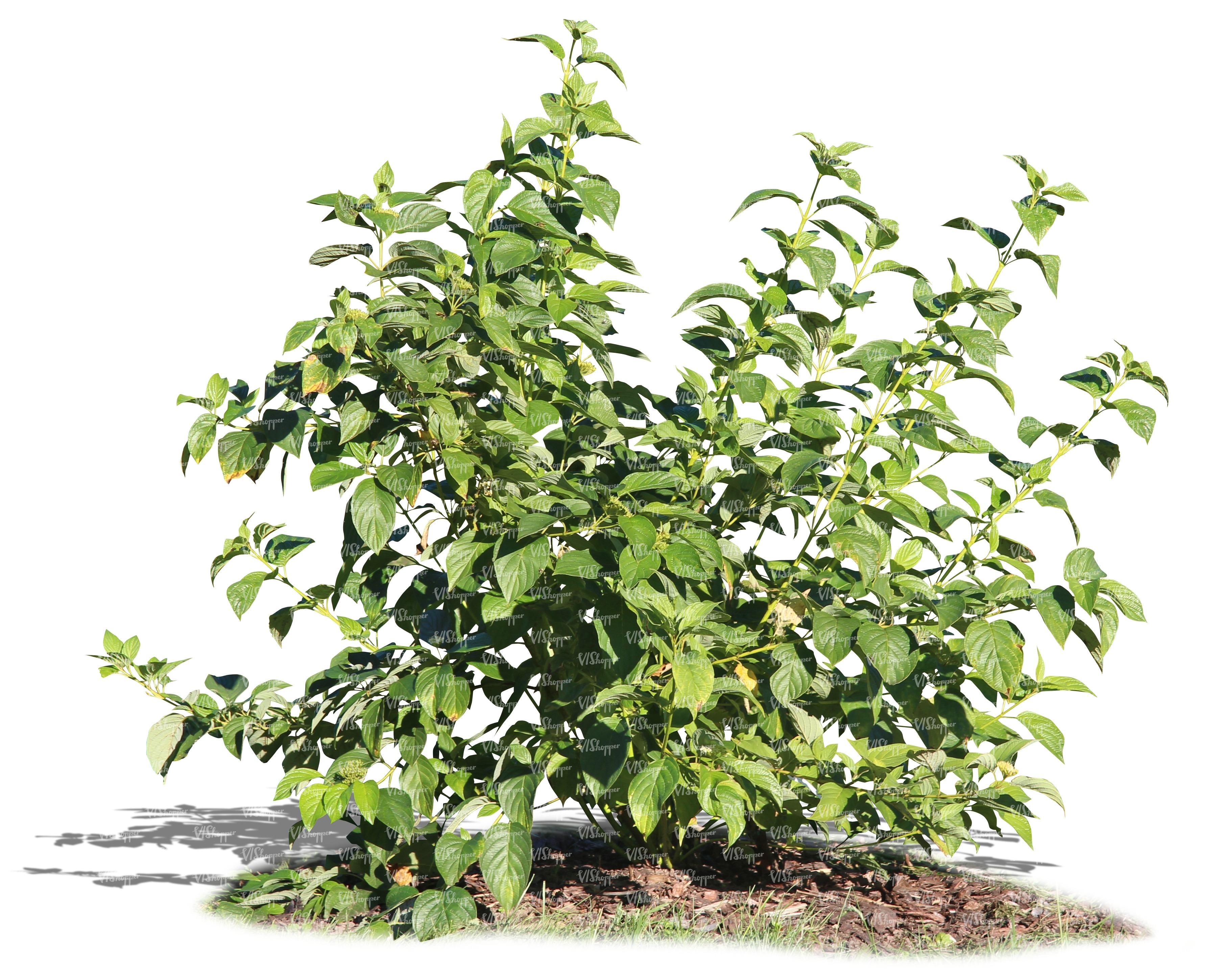 Bush plant images galleries with a bite for Garden deciduous trees