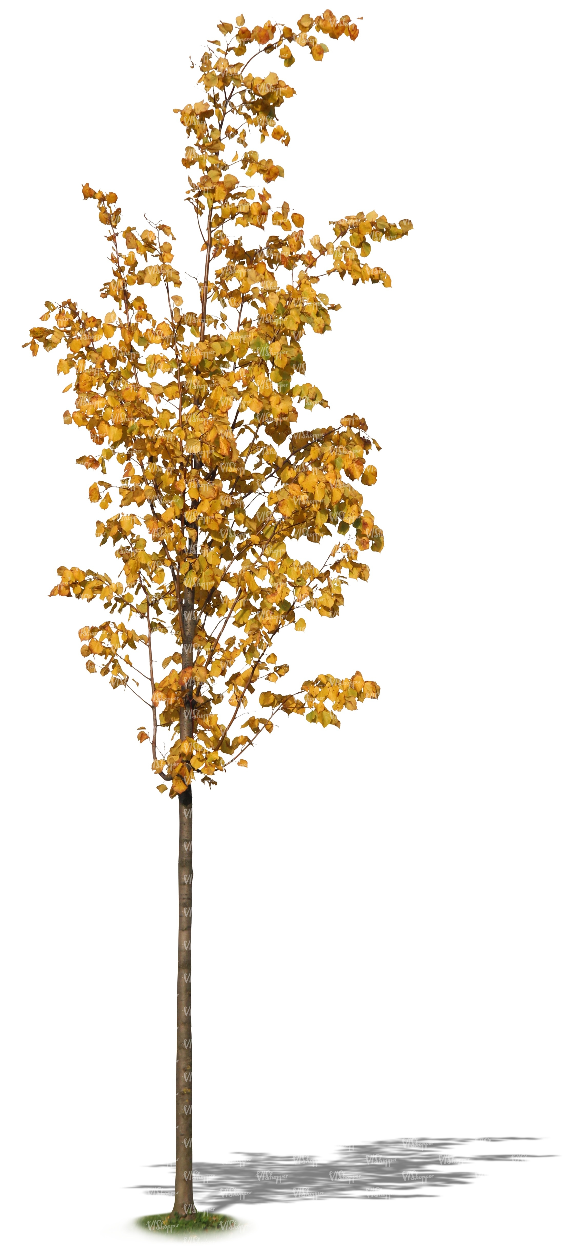 small linden tree with yellow leaves cut out plants vishopper