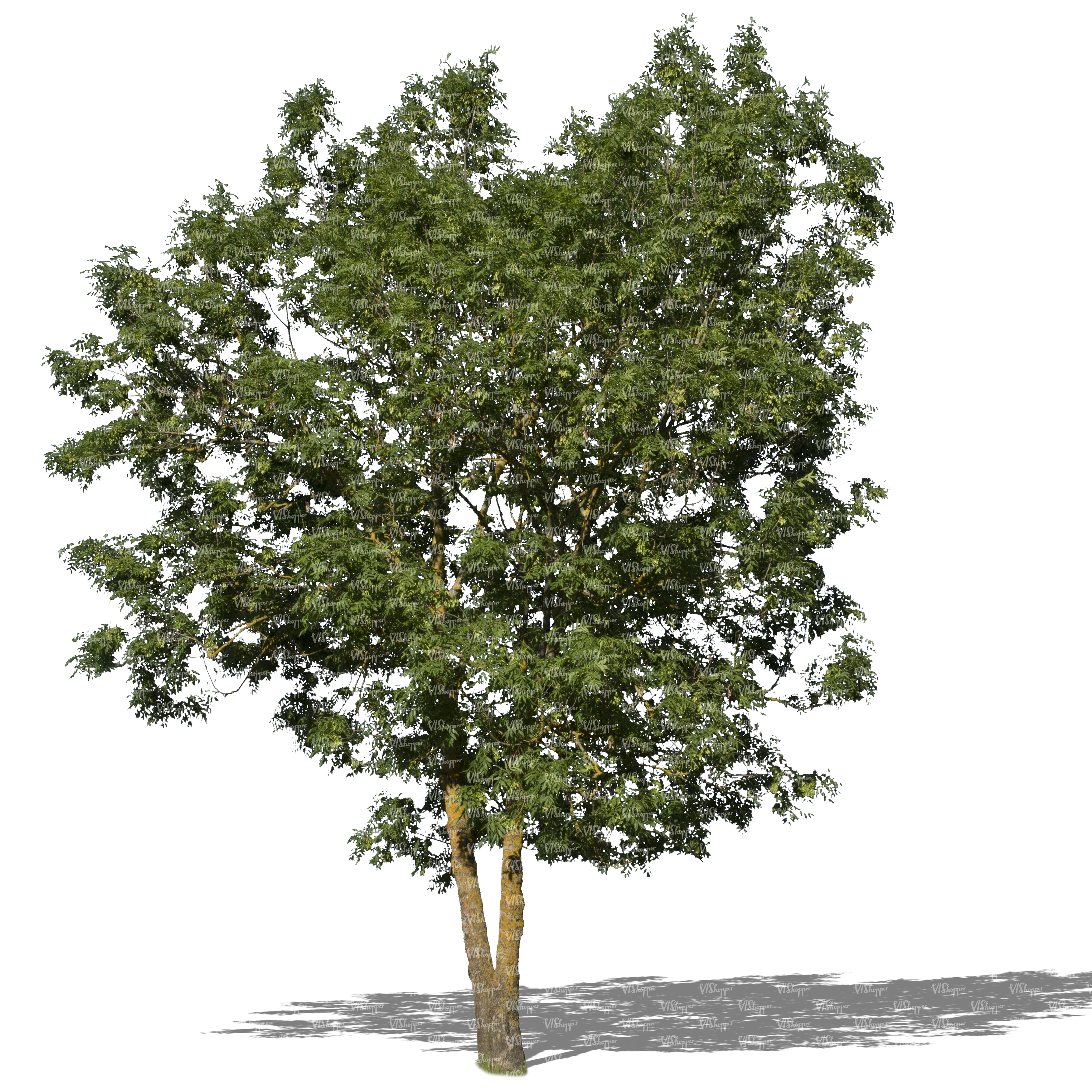 Cut out medium size ash tree cut out trees and plants for Small to medium trees for garden