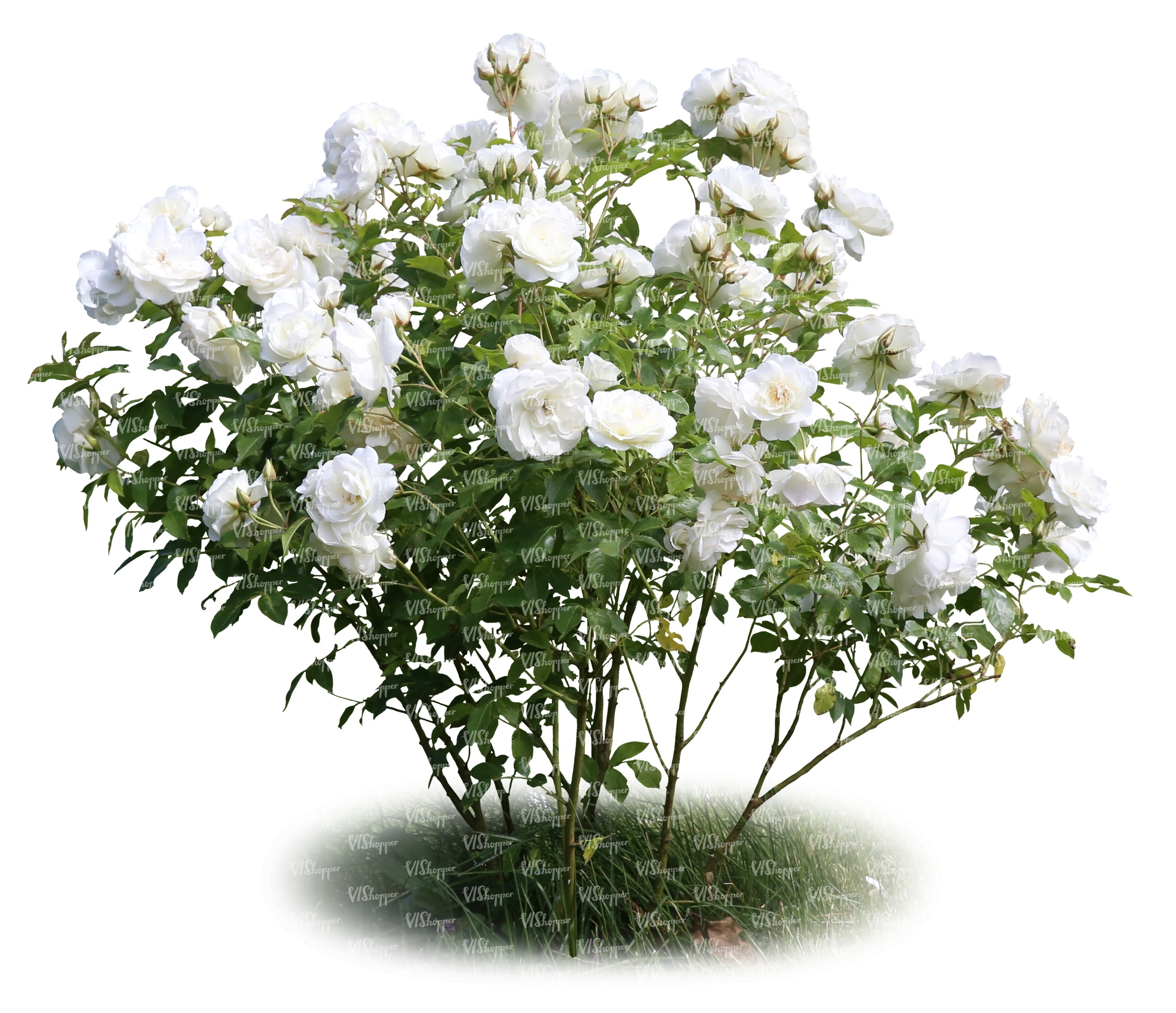 cut out blooming white rosebush - cut out trees and plants - VIShopper
