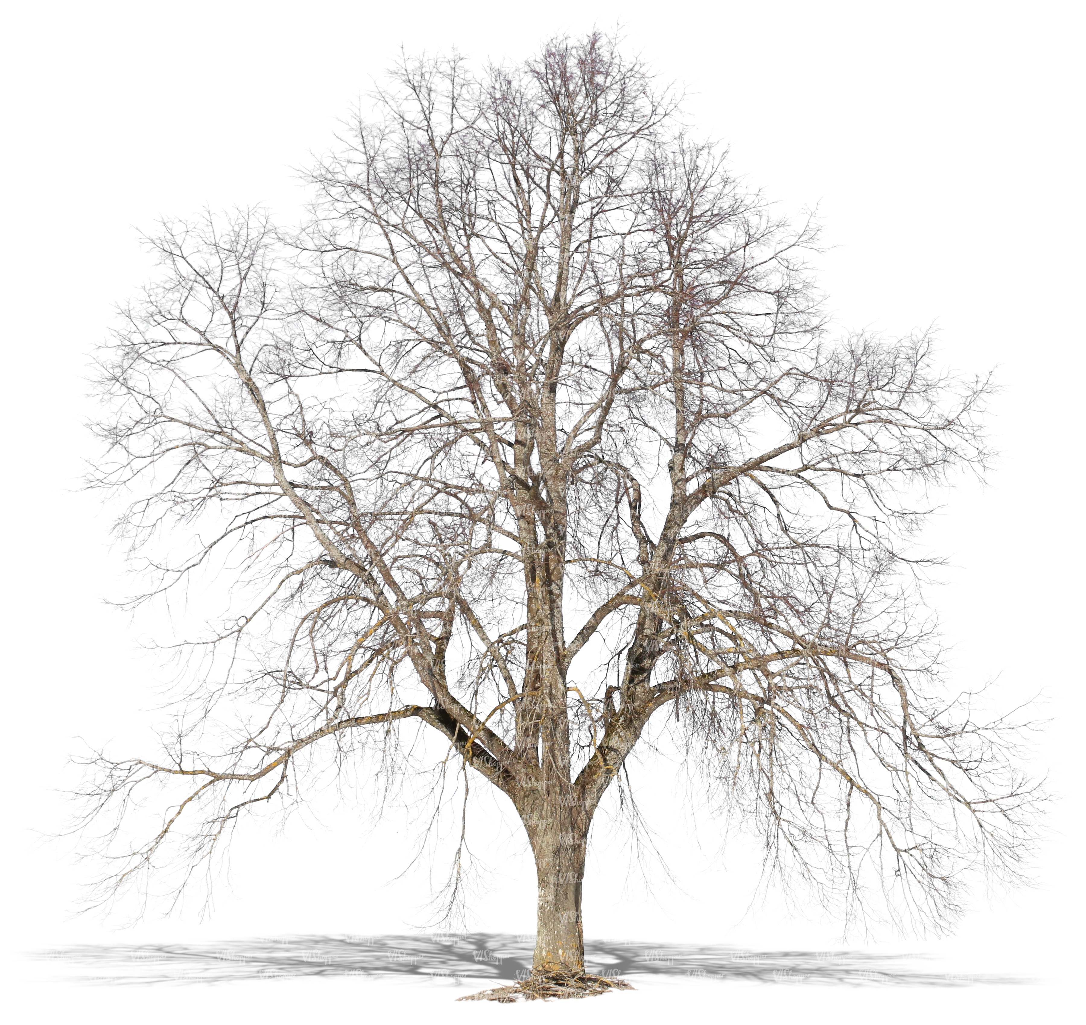 Big Cut Out Bare Tree In Wintertime Cut Out Trees And